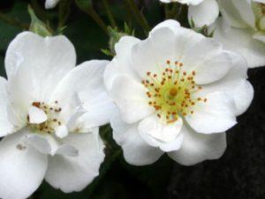 Seagull Einzelblüte