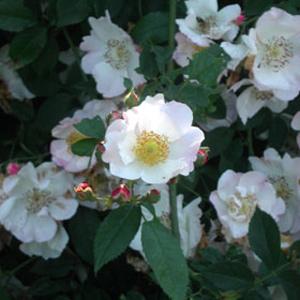 Scintillation Blüten